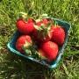 CSA strawberries